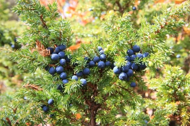 juniper bush