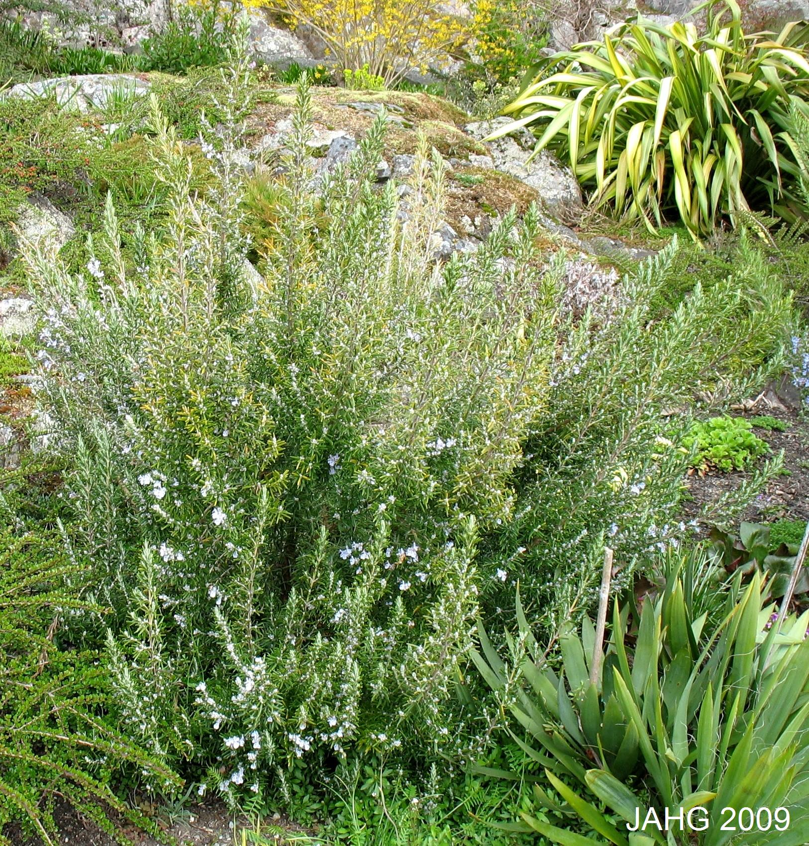 An Excellent Rosemary Plant Growing In the Terrace Garden at Government House.