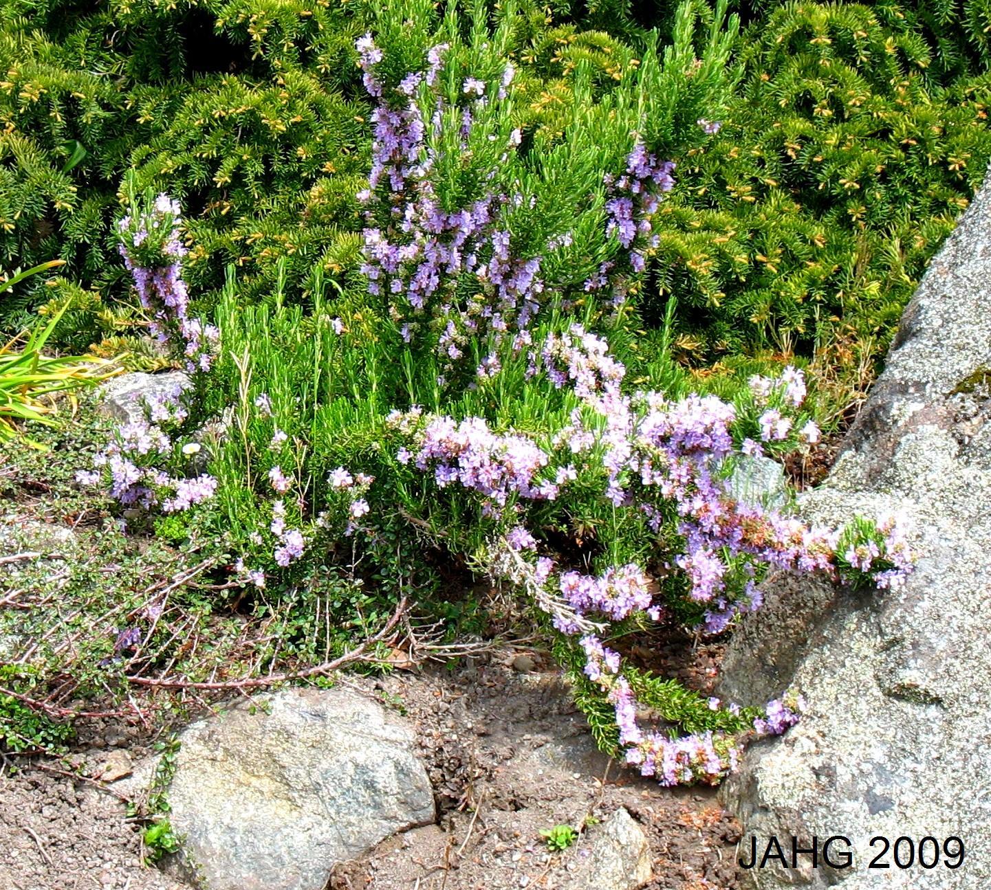 A Pink Flowering Rosemary, Probably Rosmarinus officinalis 'Roseus'