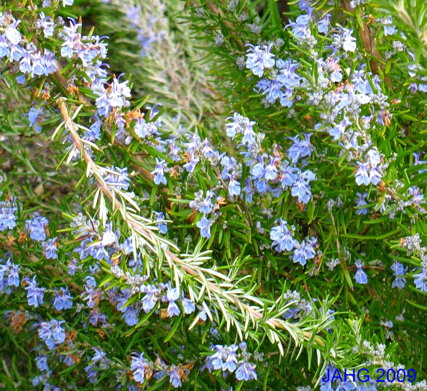 Rosemary Has Very Fine Foliage, Perfect for Cooking With.