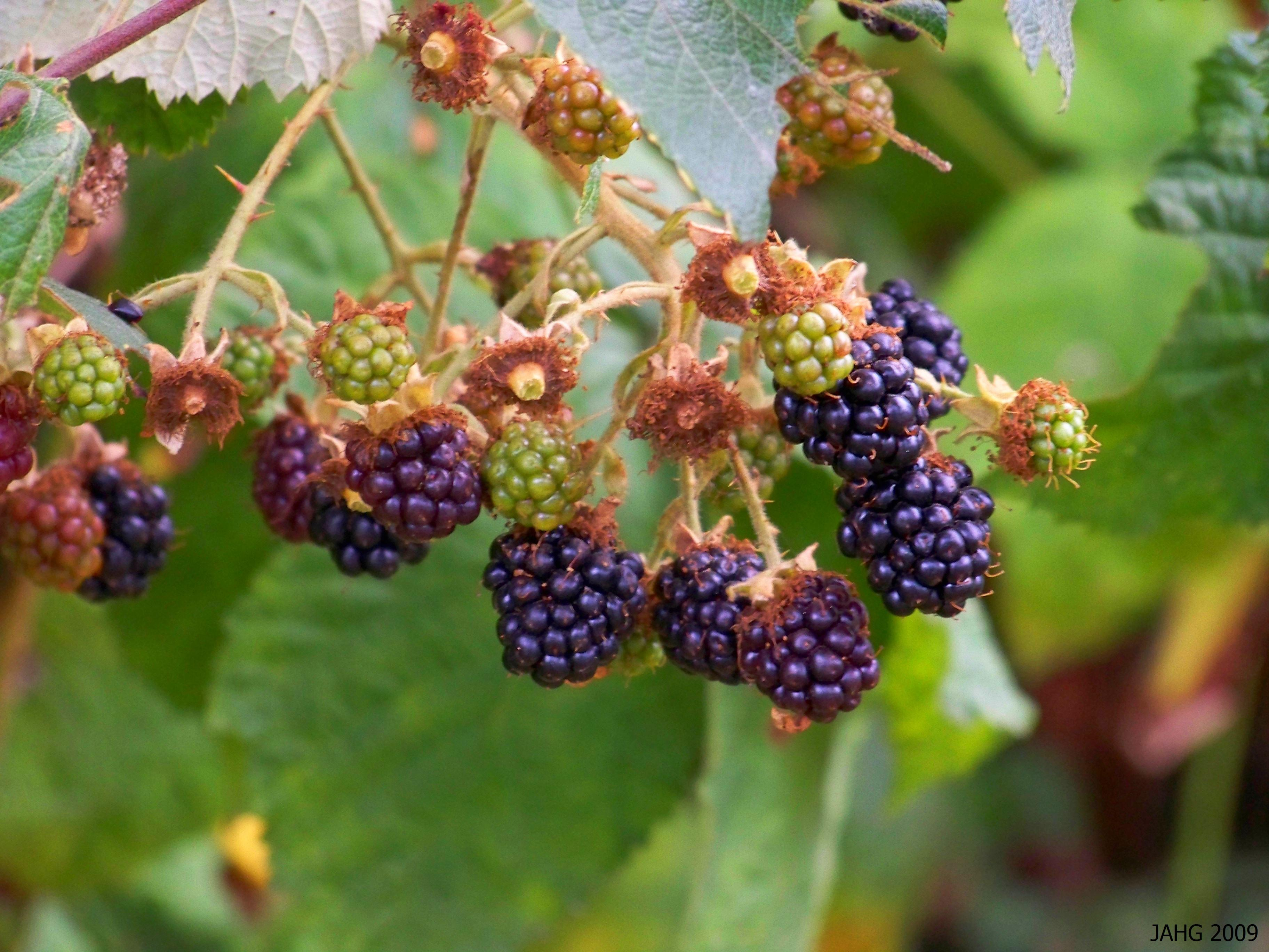 The Armenian Blackberry (Rubus armeniacus) produces bountiful crops year after year.