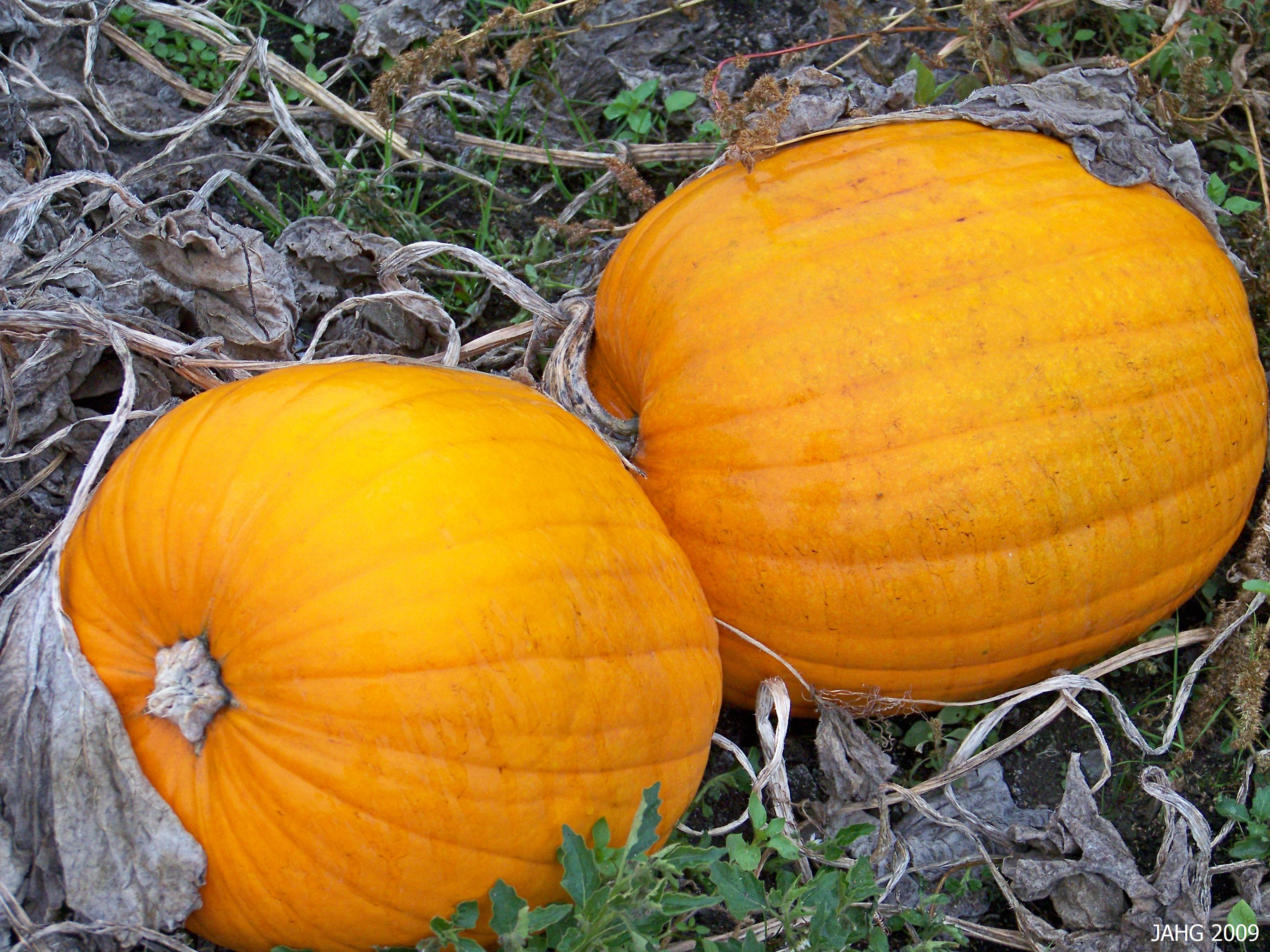 Two unsuspecting Pumpkins in the field sunning themselves, little do they know what comes next!
