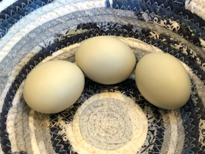 And Our First Egg-laying Hen is…