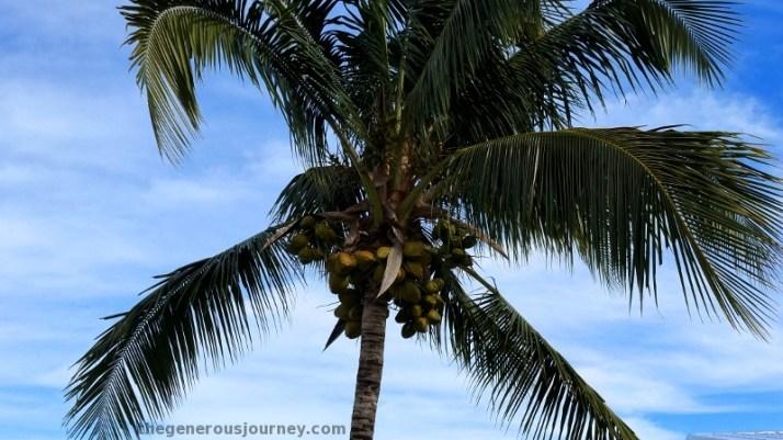 Coconut tree © Paul H. Byerly