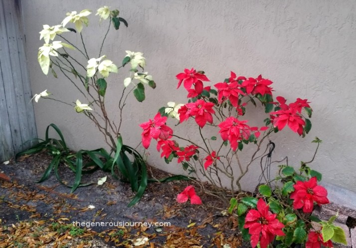 Poinsettias as perennials Huge Hibiscus © Paul H. Byerly