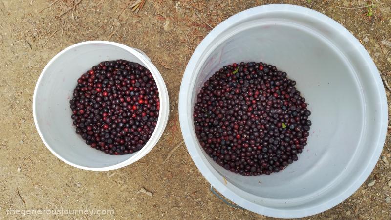 Huckleberries © Paul H Byerly