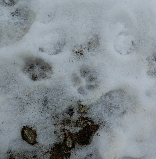 Mysterious animal tracks on the trail to Forgotten Valley, Colorado.