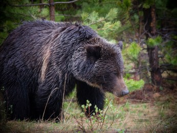 Grizzly along the Bow Valley Parkway