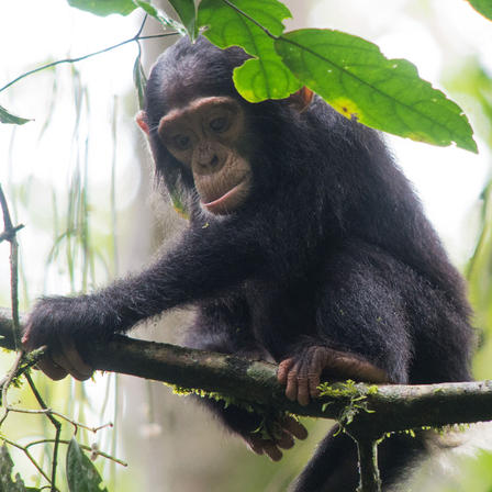 The feet of primates like apes and chimpanzees are optimal for swinging, climbing, and hanging.  image : Eric Gopp/Flickr