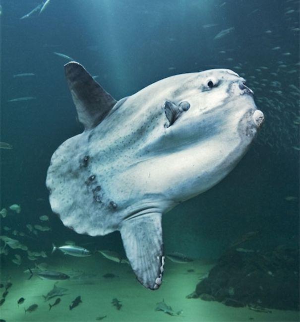 Güneş Balığı
