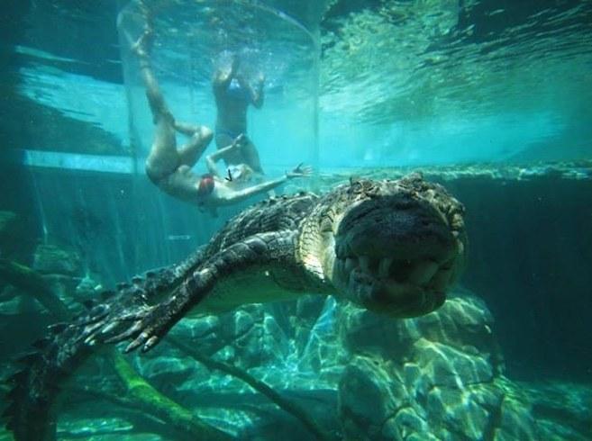 Timsahlarla aynı akvaryumda yüzmek