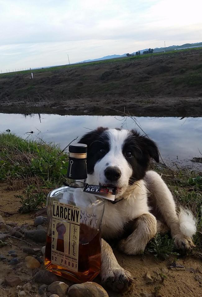 alkolik köpek