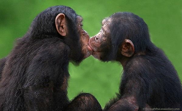 chimpanzee kiss