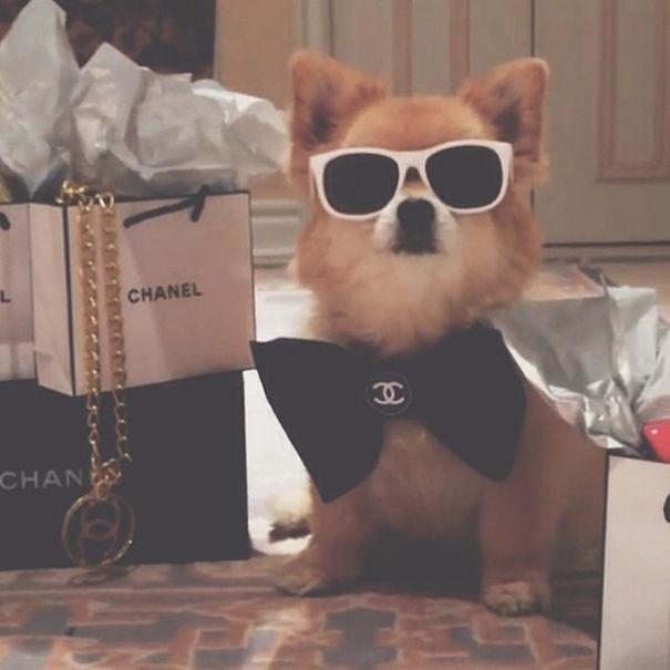 köpek modası