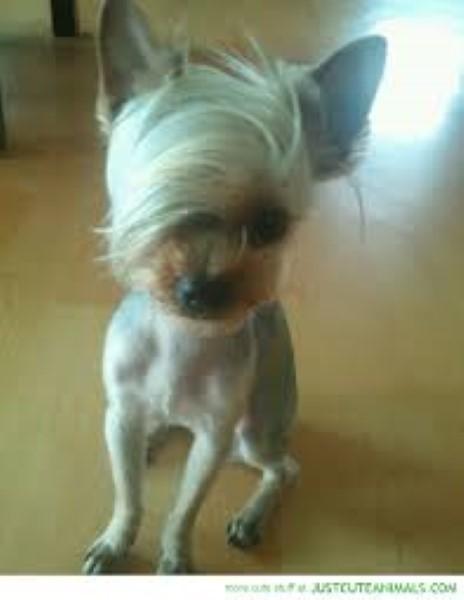 şekil saçlı köpek