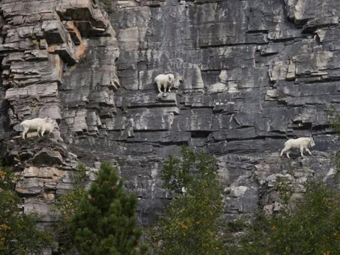 dağ keçileri