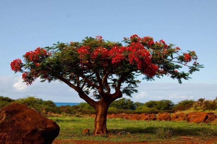 lale ağacı