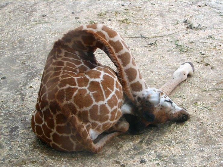 zürafalar nasıl uyur 5