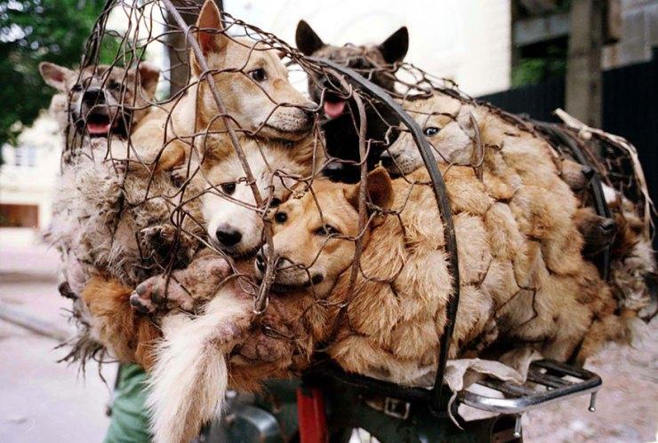 Yulin köpek yeme festivali 2