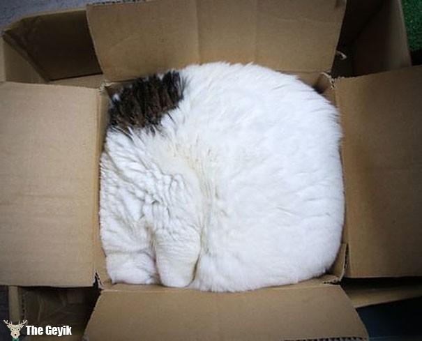 kedi kutuda