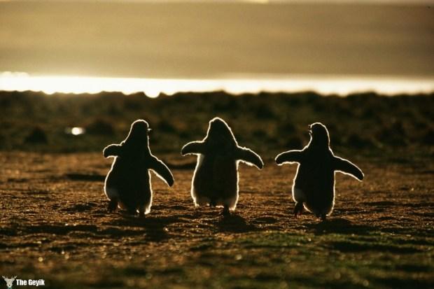 penguen fotoğrafları