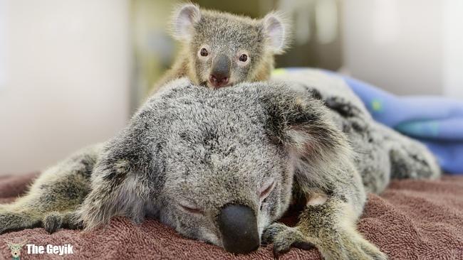 annesini bırakmayan koalanın hikayesi