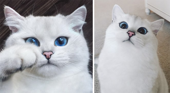 most-beautiful-eyes-cat-coby-british-shorthair
