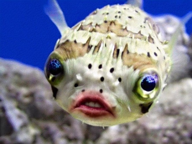 trump-puffer-fish-mouth-photoshop-28__700