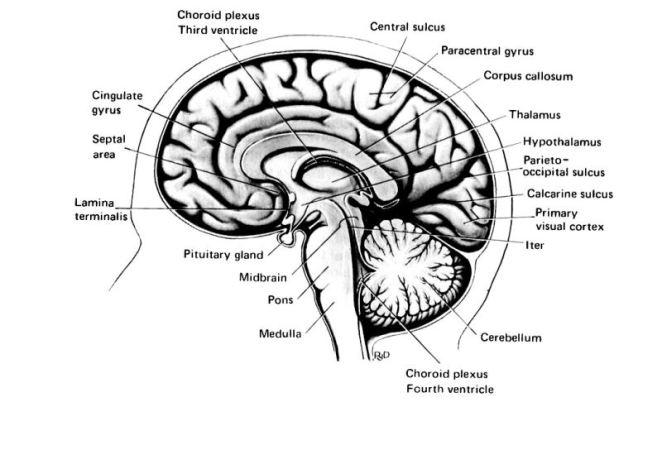 beyin yapısı