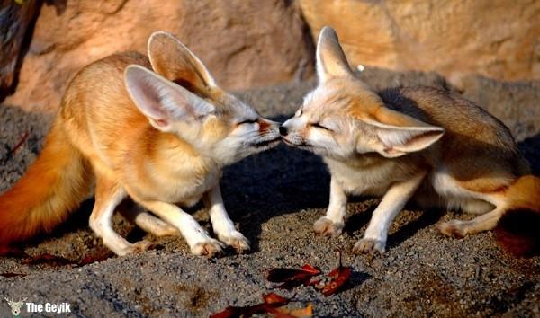 aşkını öperek gösteren hayvanlar 13