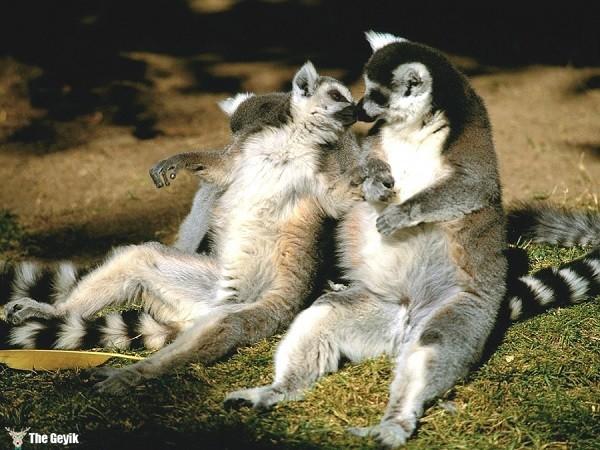 aşkını öperek gösteren hayvanlar 9