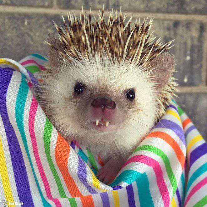 vampire-hedgehog-fangs-hodge-huffington-25