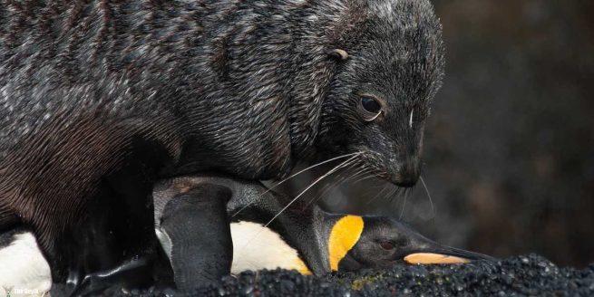 deniz-ayi-penguen