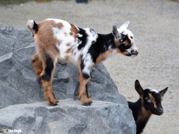 bebek hayvanlar 8