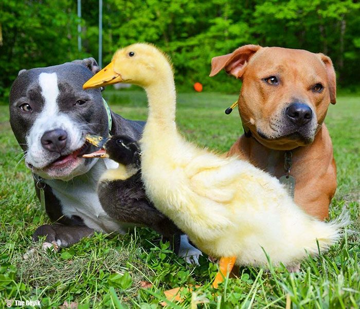 unusual-animal-friendship-dogs-cat-ducks-kasey-and-her-pack-30