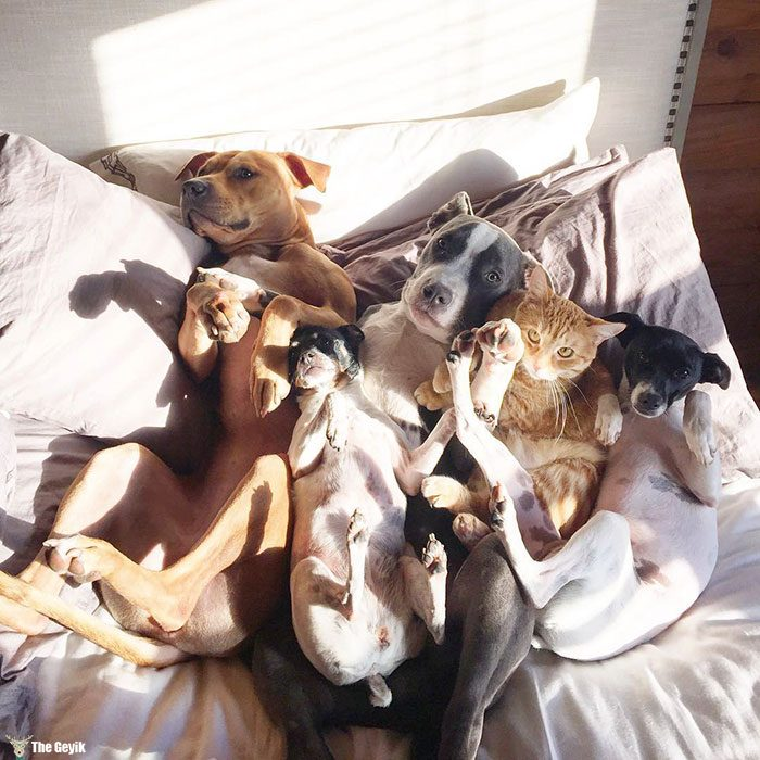unusual-animal-friendship-dogs-cat-ducks-kasey-and-her-pack-37