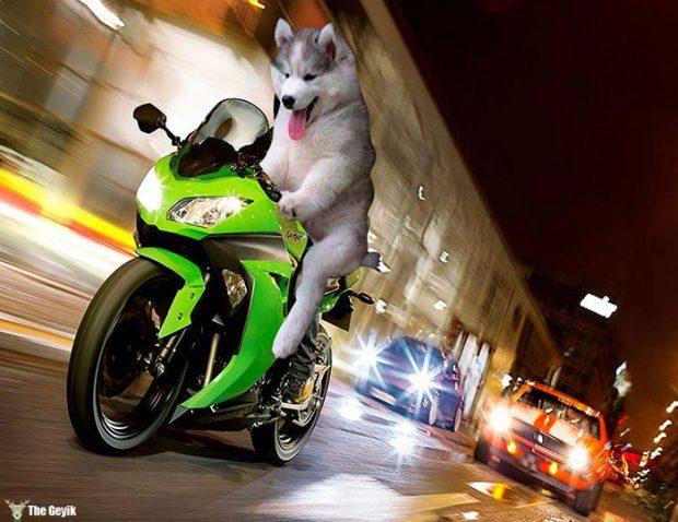 husky-agac-komik-photoshop-11