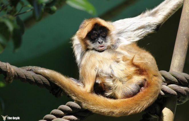 orumcek-maymunu