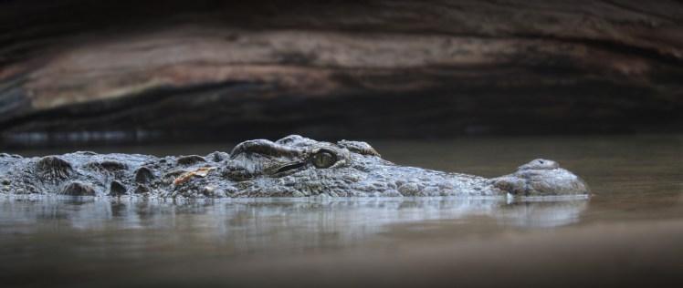 crocodile-3934988_1920
