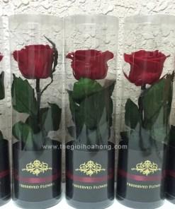 Hoa hồng vĩnh cửu - Love for you
