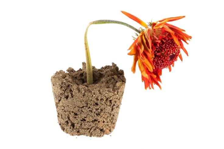 Dead orange gerbera flower in soil