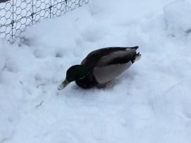 Chena Ducks 2