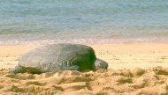 sea turtle beach kauai