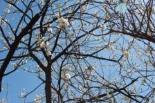 Cherry Blossoms in Koga