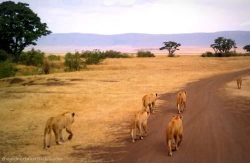 Lions in Ngorogoro Crater Tanzania Safari | The Girl Next Door is Black