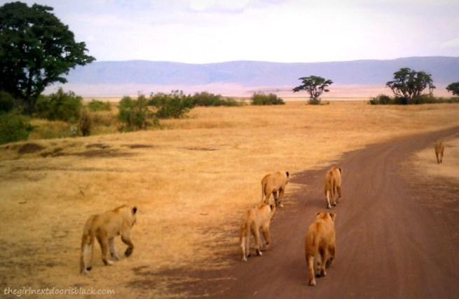 Lions in Ngorogoro Crater Tanzania Safari | The Girl Next Door is Black