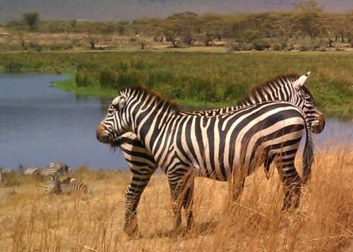 Zebra Buddies Ngorogoro Crater Tanzania Safari | The Girl Next Door is Black