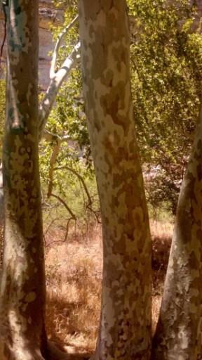 Arizona Sycamore Sedona