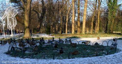 Łazienki Park Ducks   The Girl Next Door is Black