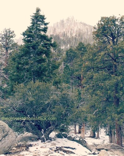 """Pine Trees in Mt. San Jacinto State Park 